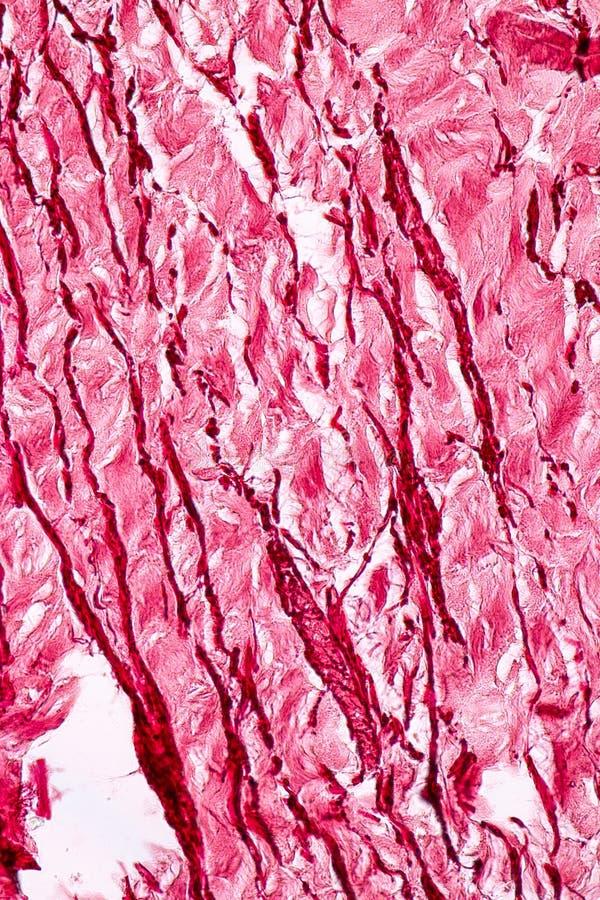 Fizjologia żyły dla edukacji w laboratorium i arterie obraz stock