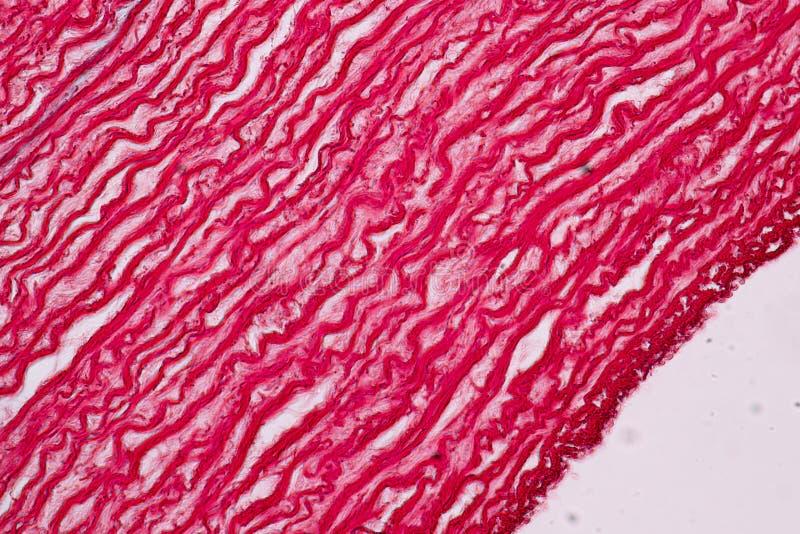 Fizjologia żyły dla edukacji w laboratorium i arterie zdjęcie royalty free