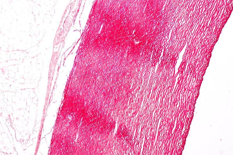 Fizjologia żyły dla edukacji w laboratorium i arterie zdjęcia stock