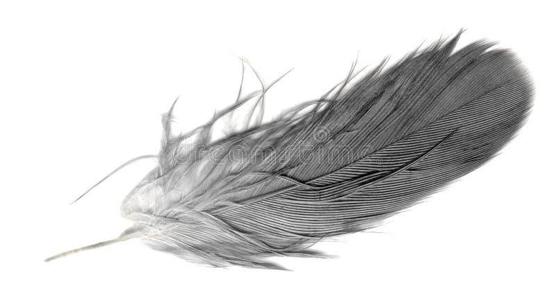 fjäder över quillwhite arkivbild