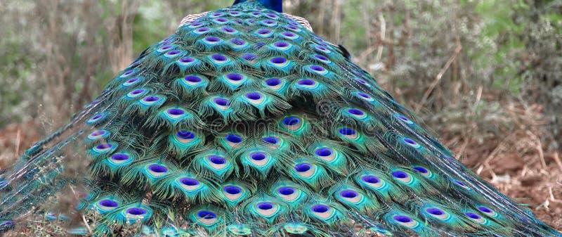 Fjäder av peafowlfågeln arkivfoto