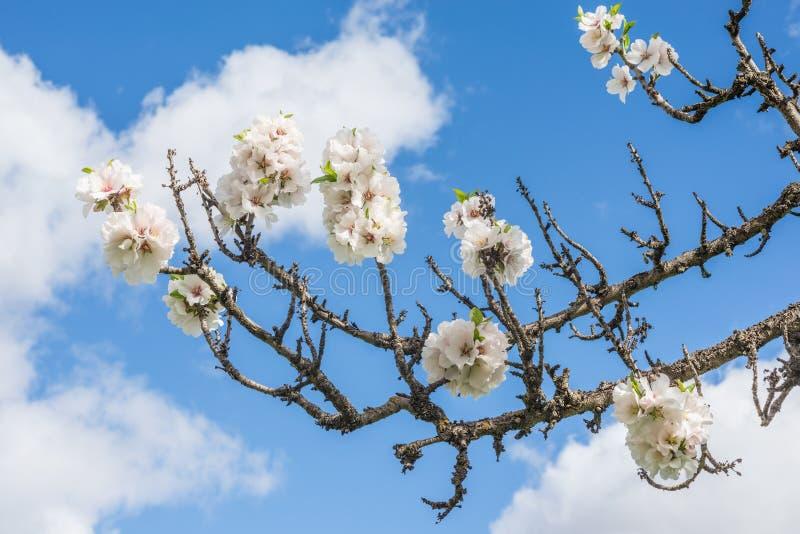 fjäder för blomma för dof för azaleablomningclose grund upp fotografering för bildbyråer