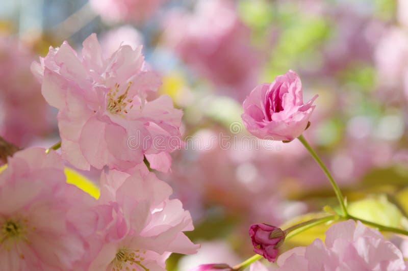 fjäder för blomma för dof för azaleablomningclose grund upp royaltyfria foton