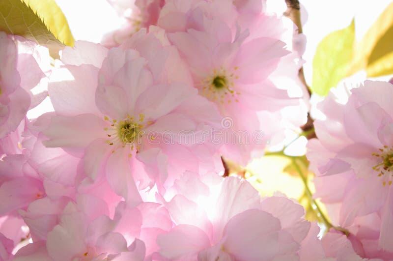 fjäder för blomma för dof för azaleablomningclose grund upp royaltyfri bild