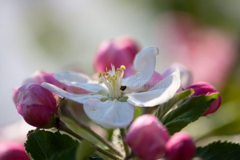 fjäder för makro för äppleblommor trädgårds- royaltyfria foton