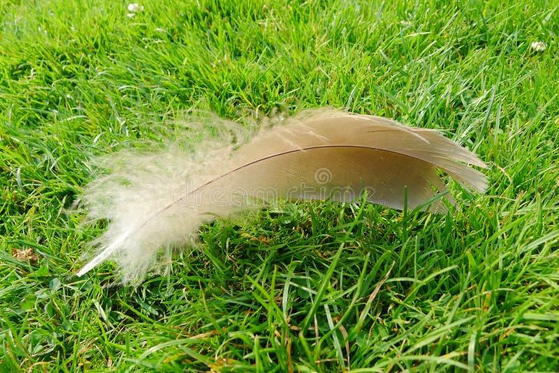 Fjäder på grönt gräs under solsken royaltyfria foton
