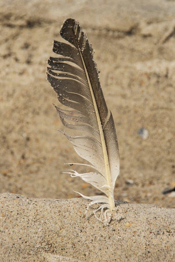 Fjäder som klibbas i sand arkivfoton