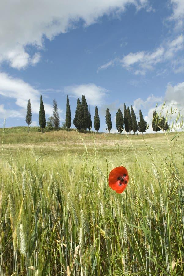 fjäder tuscany fotografering för bildbyråer