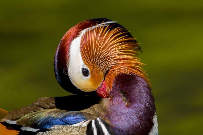 Fjäderdräkt för manlig för aix för mandarinand oavkortad föda upp fågel för galericulata arkivbild