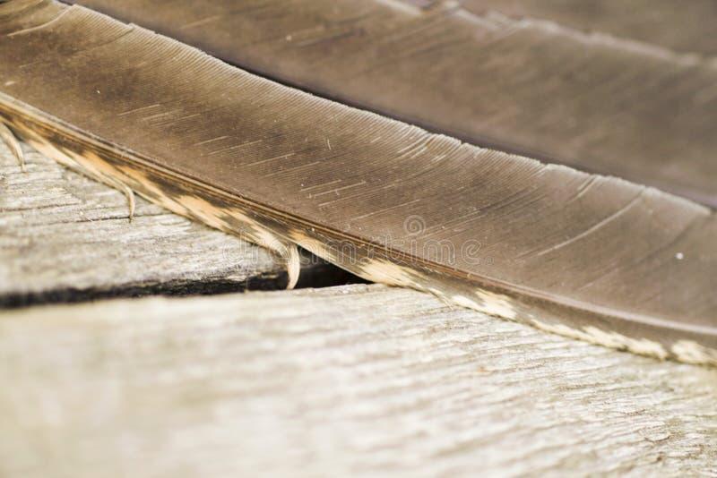 Fjäderdräkten är en stor skogshönsnärbild royaltyfria foton