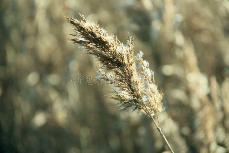 fjädergräs royaltyfri fotografi