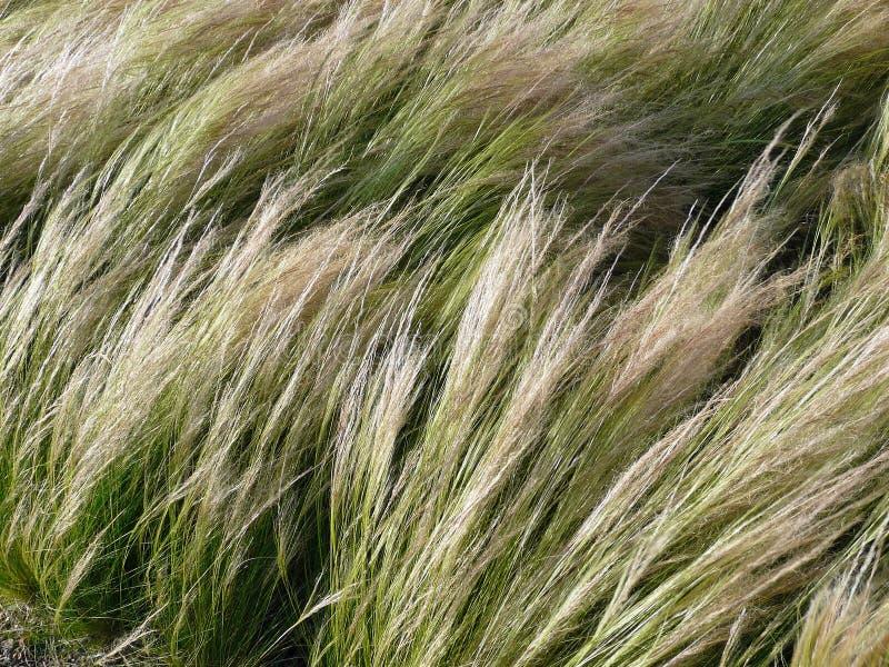Visargräs, Nassella tenuissima fotografering för bildbyråer