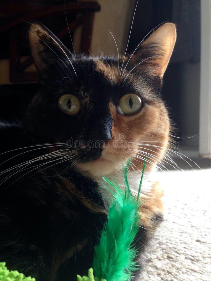 Fjädermygga den Munchkin katten royaltyfria foton