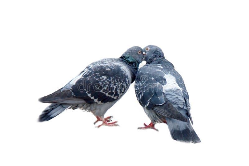 Fjädern är i luft och kärlek är överallt duvor som kysser och parar fotografering för bildbyråer
