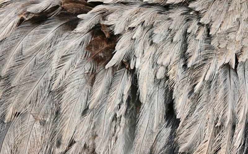 fjäderostrich arkivfoto