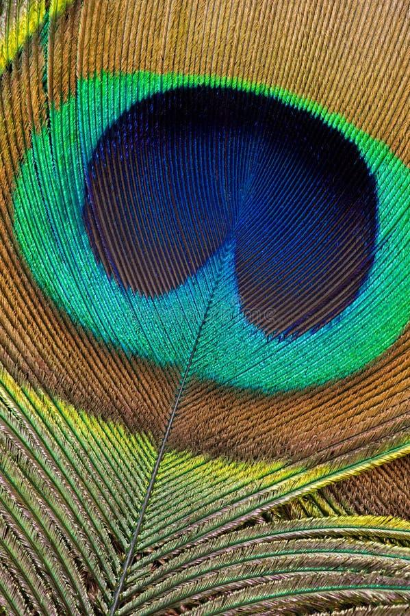 fjäderpåfågel royaltyfria bilder