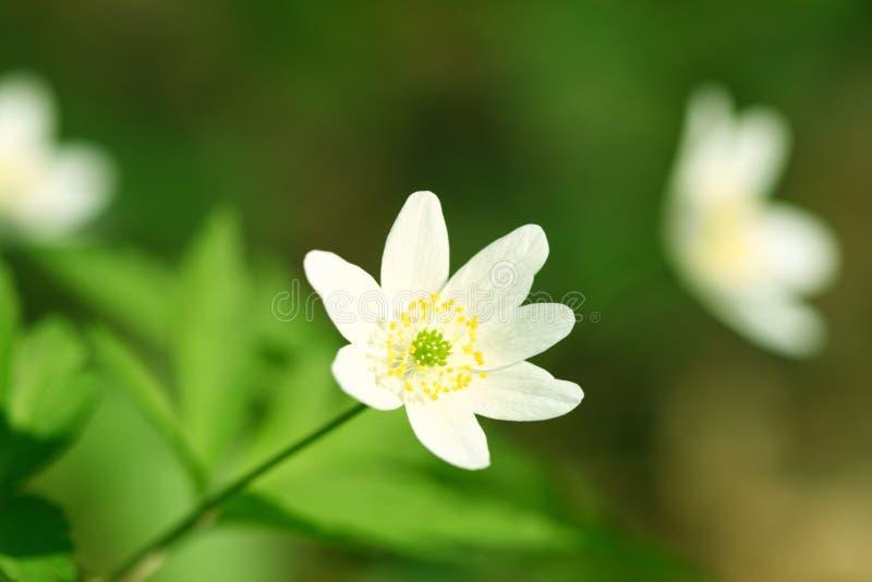 fjäderwindflower royaltyfri bild