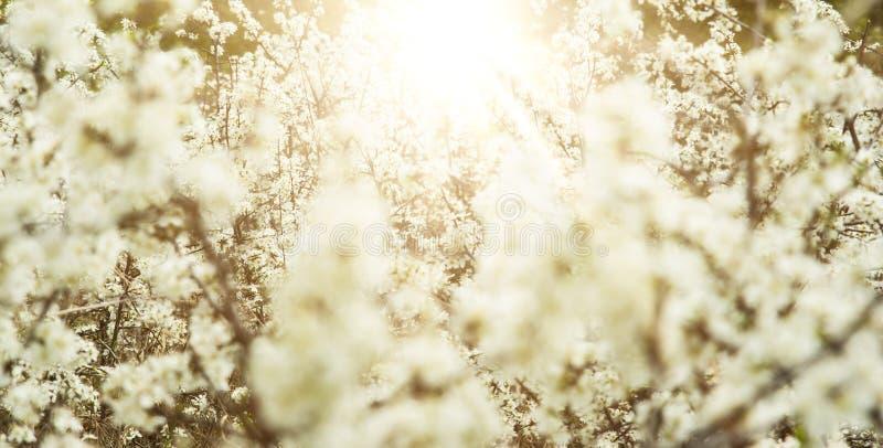 Fjädra äppleträd och blommor i ljust solljus arkivbild