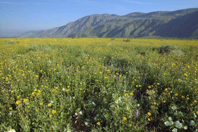 Fjädra ökenliljor och desertera av guld i fält av Henderson Road i Anza-Borrego ökendelstatspark, nära Anza Borrego Springs, arkivbild