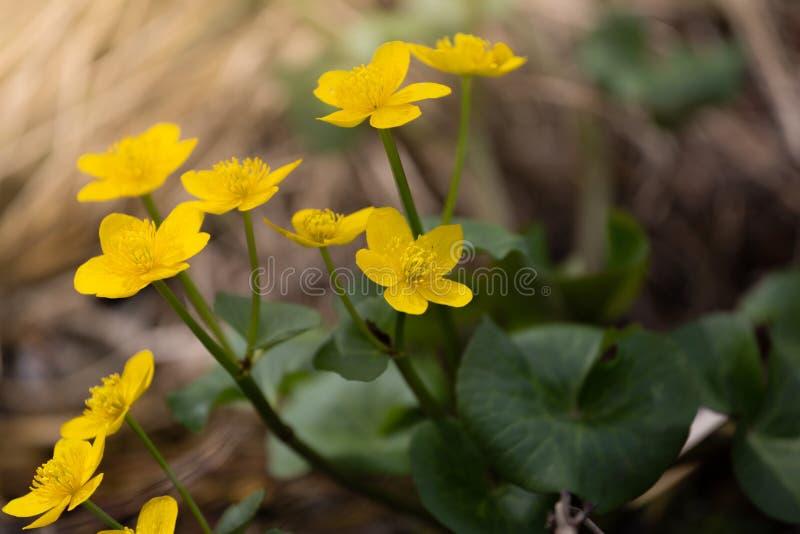 Fjädra bakgrund med gula blommande Calthapalustris som är bekanta som träsk-ringblomma och kingcup Guld- färgväxter för blomning  royaltyfri fotografi