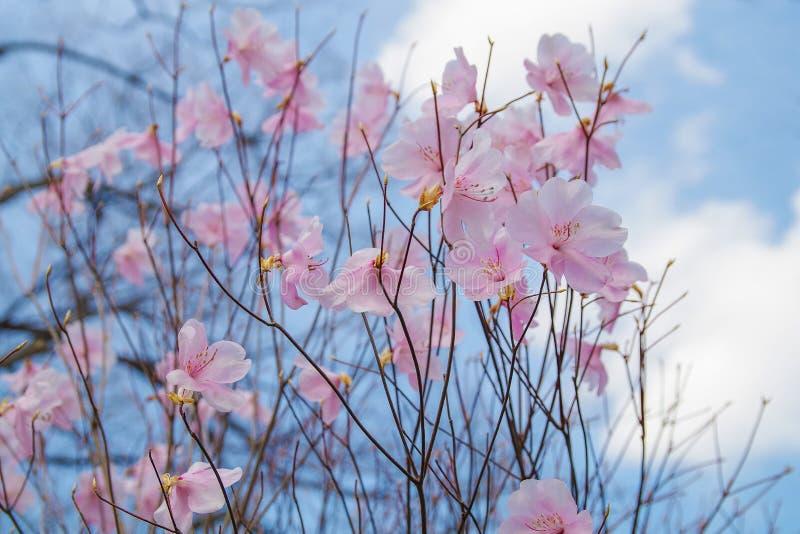 Fjädra blomman Sakura, härlig körsbärsröd blomning över den blåa himlen arkivbild