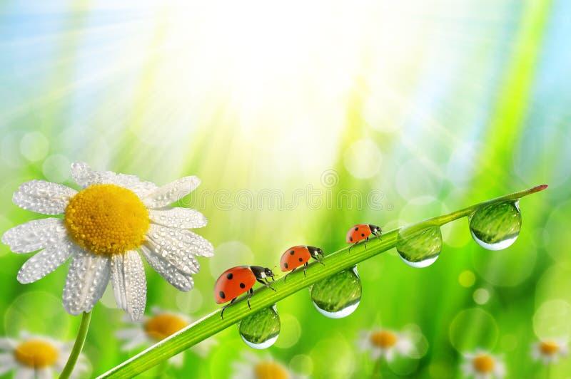 Fjädra blommatusenskönan och nyckelpigor på grönt gräs med daggdroppar royaltyfri foto