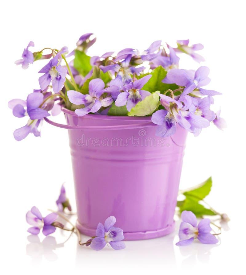 Fjädra blommaviolets med bladet i liten hink royaltyfria foton