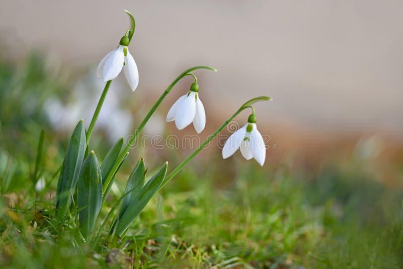 Fjädra blommor - Snowdrops Beautifully blomma i gräset på solnedgången Amaryllidaceae - Galanthus nivalis royaltyfri foto
