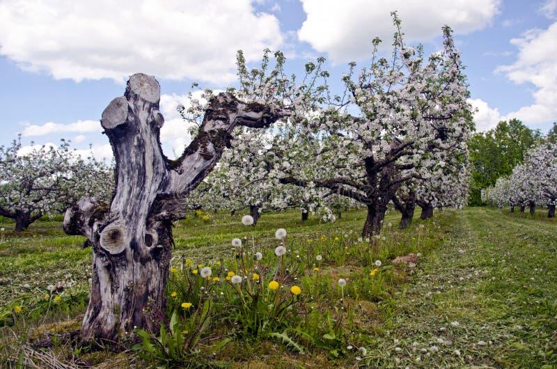 Fjädra blomstra fruktträdgårdträdgården och den gamla torra apppleträdstammen arkivbild