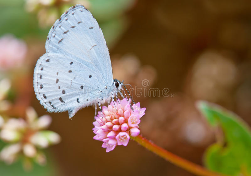 Fjädra den Azure fjärilen royaltyfri foto