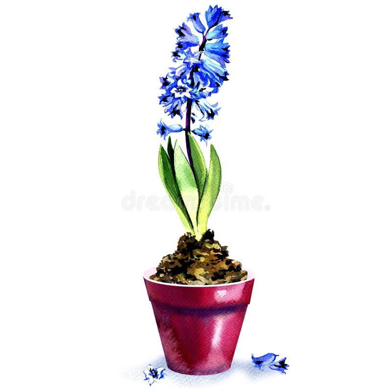 Fjädra den blåa hyacinten i krukan som isoleras på vit bakgrund royaltyfria foton