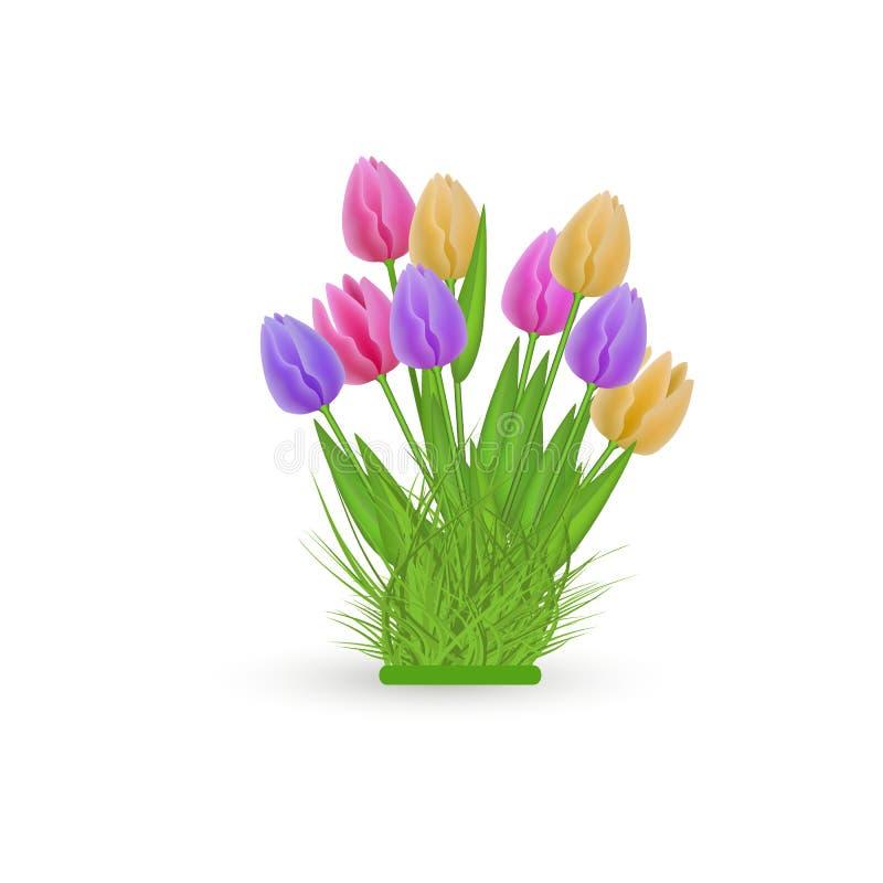 Fjädra den blom- tulpanpacken med nya färgrika blommor på den gröna örten som isoleras på vit bakgrund stock illustrationer