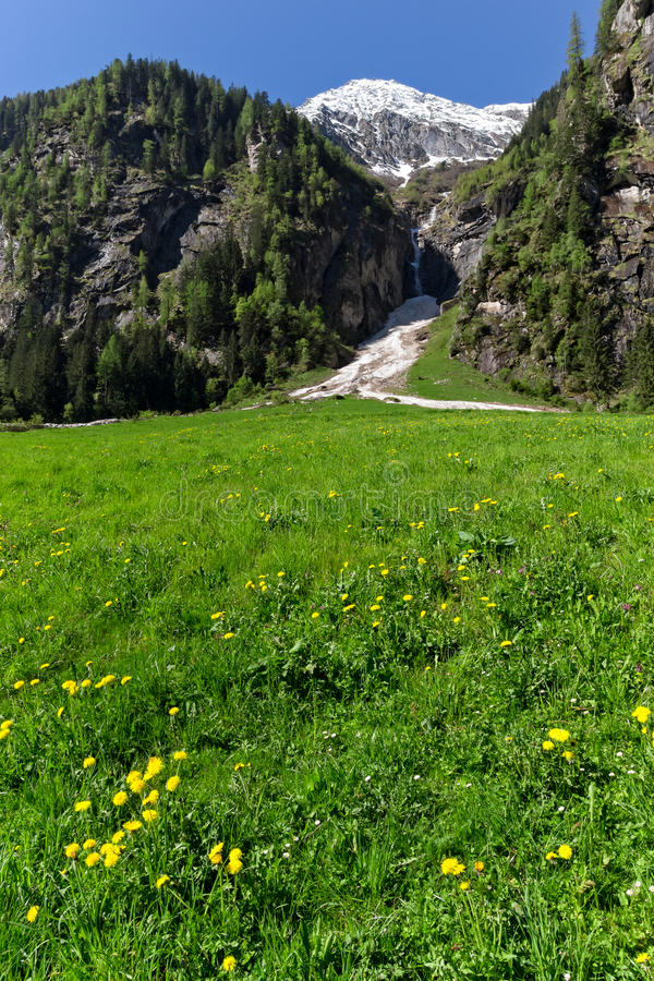 Fjädra den gröna ängen med blommor och snöig berg i bakgrunden, vertikal bild Österrike Tirol, Zillertal, Stillup royaltyfria foton