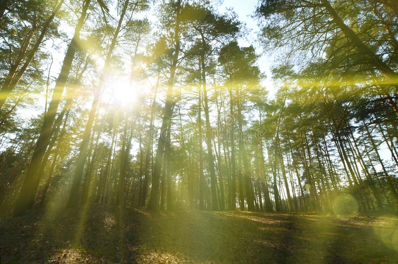 Fjädra det soliga landskapet i en pinjeskog i ljust solljus Hemtrevligt skogutrymme bland sörjer, prack med stupade kottar och co arkivfoto
