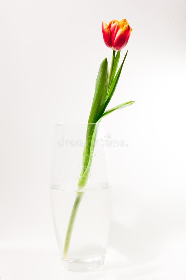 Fjädra easter tulpan i hink på vit tappningbakgrund royaltyfria bilder