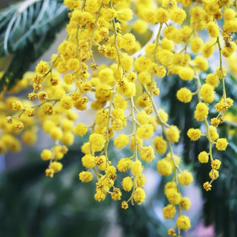 Fjädra festliga dekorativa härliga kvistar av mimosan med delica fotografering för bildbyråer