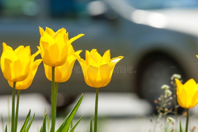 Fjädra landskapet, tulpan i en blomsterrabatt av staden Tulpan i th royaltyfria bilder