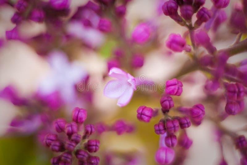 Fjädra lila violetta blommor, abstrakt mjuk blom- bakgrund royaltyfri fotografi