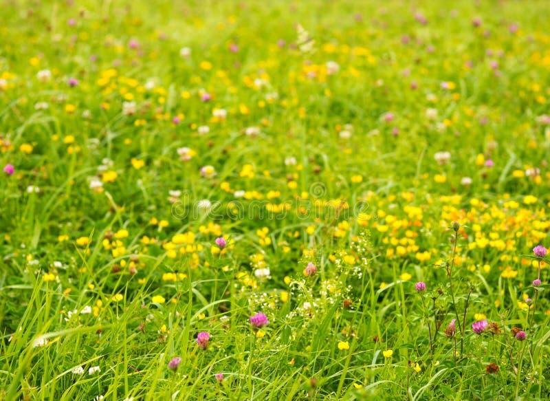 Fjädra naturbakgrund med ängen av lösa blommor royaltyfria bilder