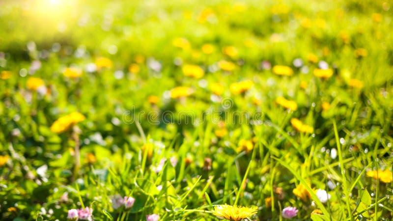 Fjädra naturbakgrund med maskrosor i grönt gräs royaltyfri fotografi