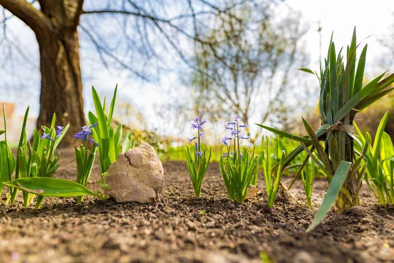 Fjädra naturbakgrund med trädblomningen i trädgård eller parkera royaltyfri bild