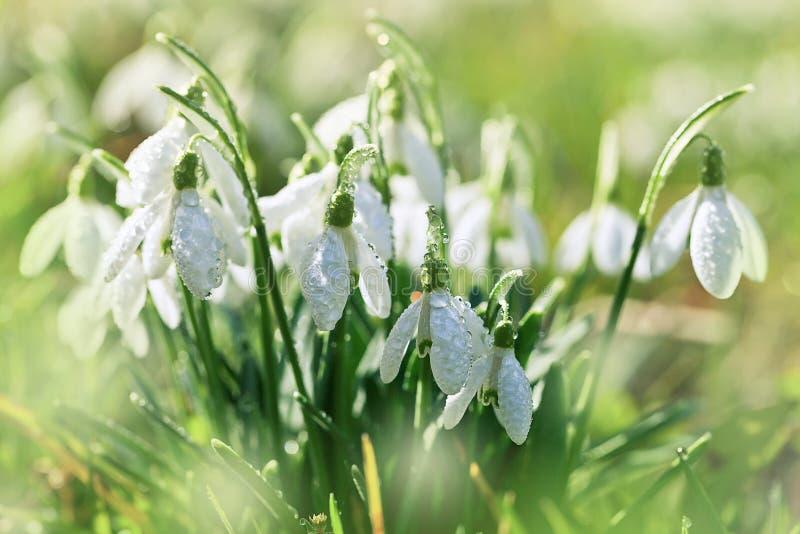 Fjädra snowdrops royaltyfria foton