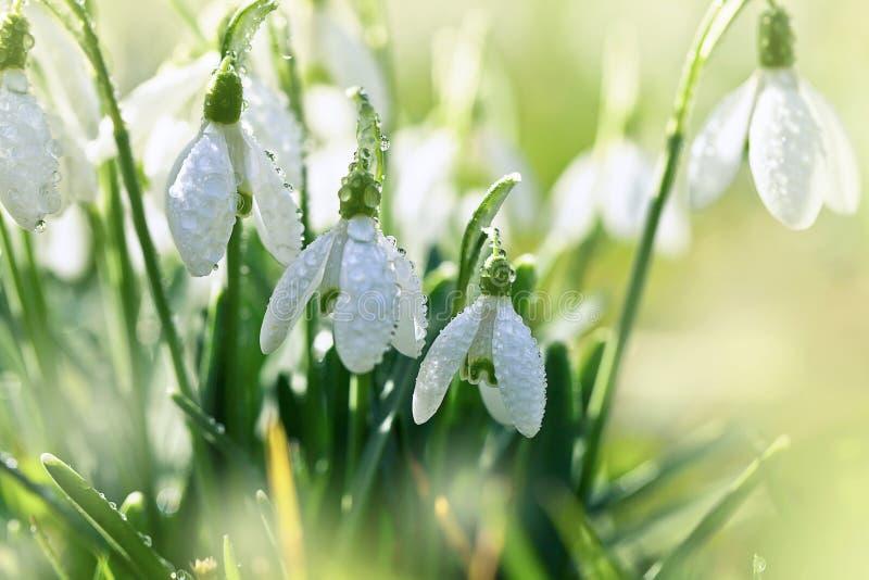 Fjädra snowdrops arkivbild