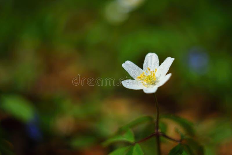 Fjädra vita blommor i de gräsAnemone Isopyrum thalictroidesna royaltyfri fotografi
