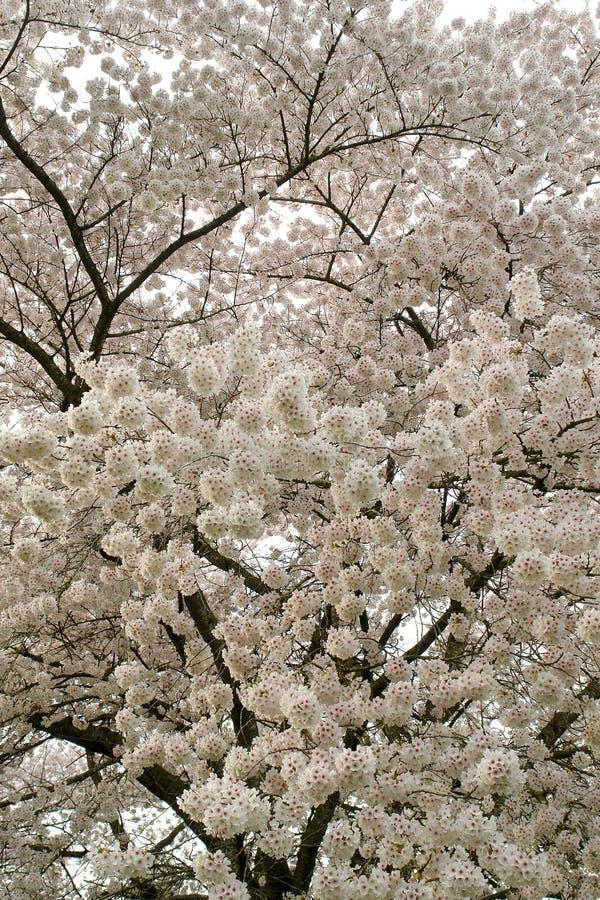 Körsbäret blomstrar fjädrar in royaltyfria bilder