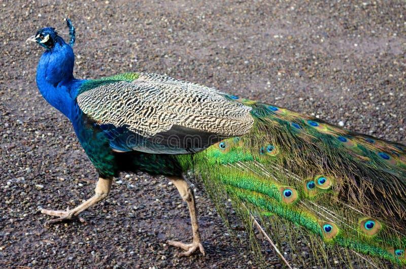 Fjädrar för djur zoo för påfågelfågel stänger sig lösa älsklings- upp exotiskt tropiskt för ståendepåfågelöga arkivfoto