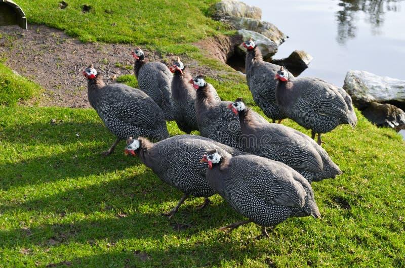 Fjädrar för fågel för and för Galeeny Galliney Guineafowl pärlhönshöna flockas gräsdammsjön arkivbild