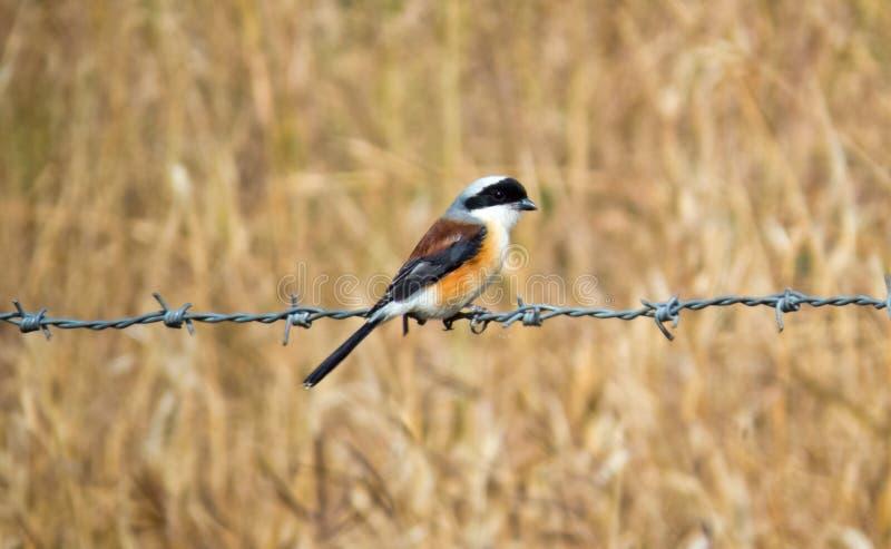 Fjärd-dragen tillbaka törnskatafågel som sitter på Barb Wire arkivfoton