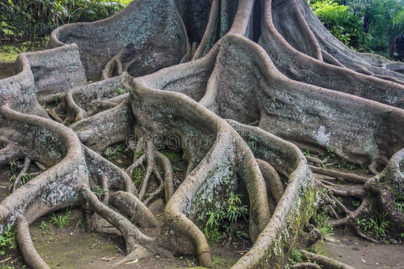 Fjärdfikonträdet rotar royaltyfri bild