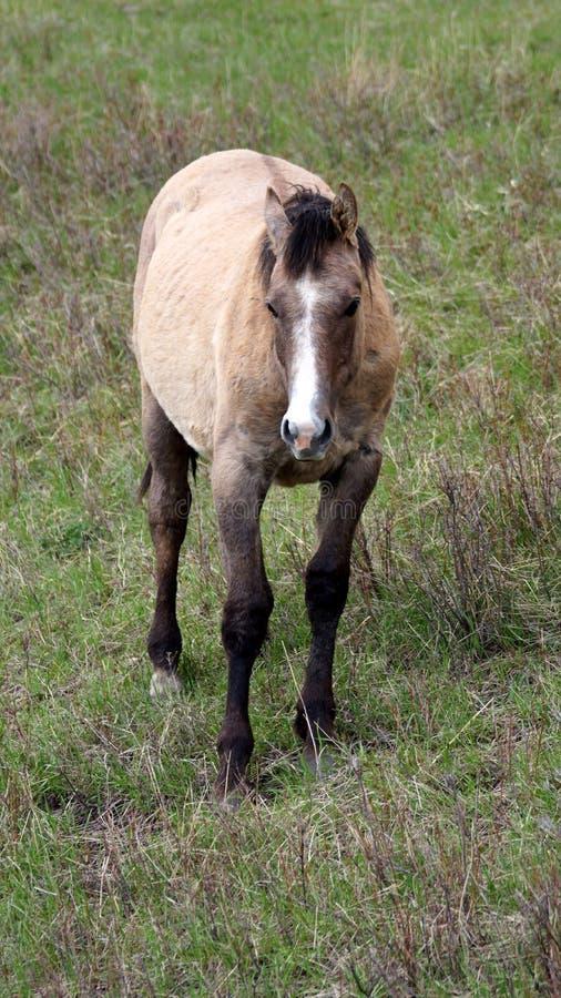 Fjärdhäst i att beta royaltyfria foton